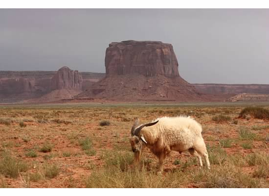 sheep goat